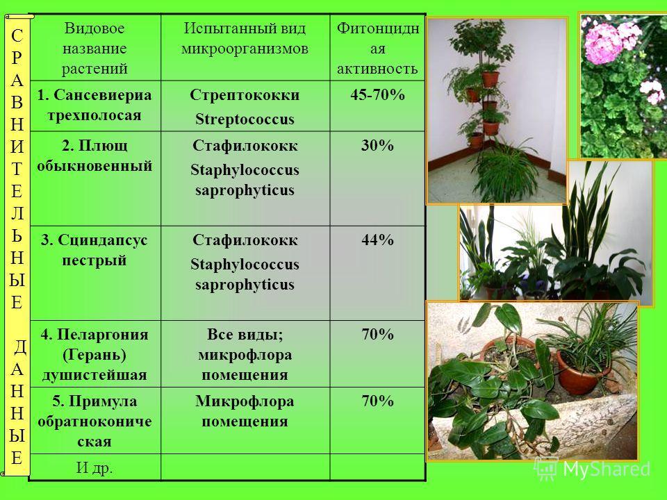 Видовое название растений Испытанный вид микроорганизмов Фитонцидн ая активность 1. Сансевиериа трехполосая Стрептококки Streptococcus 45-70% 2. Плющ обыкновенный Стафилококк Staphylococcus saprophyticus 30% 3. Сциндапсус пестрый Стафилококк Staphylo