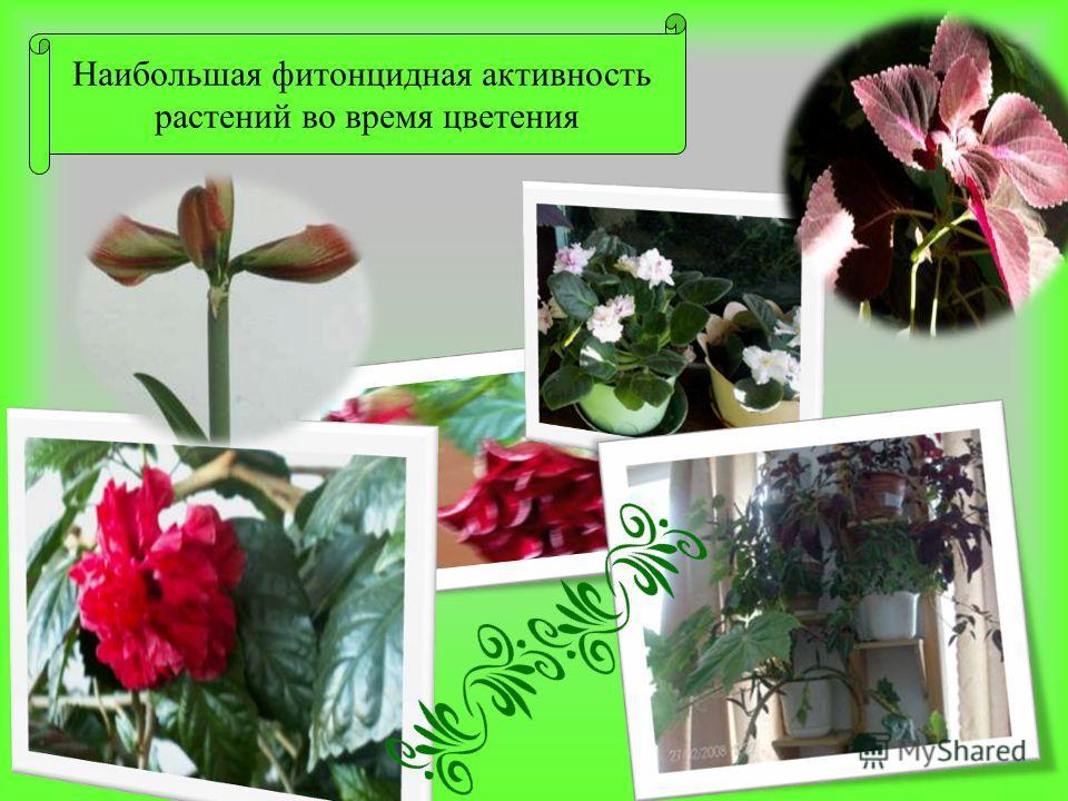 Наибольшая фитонцидная активность растений во время цветения