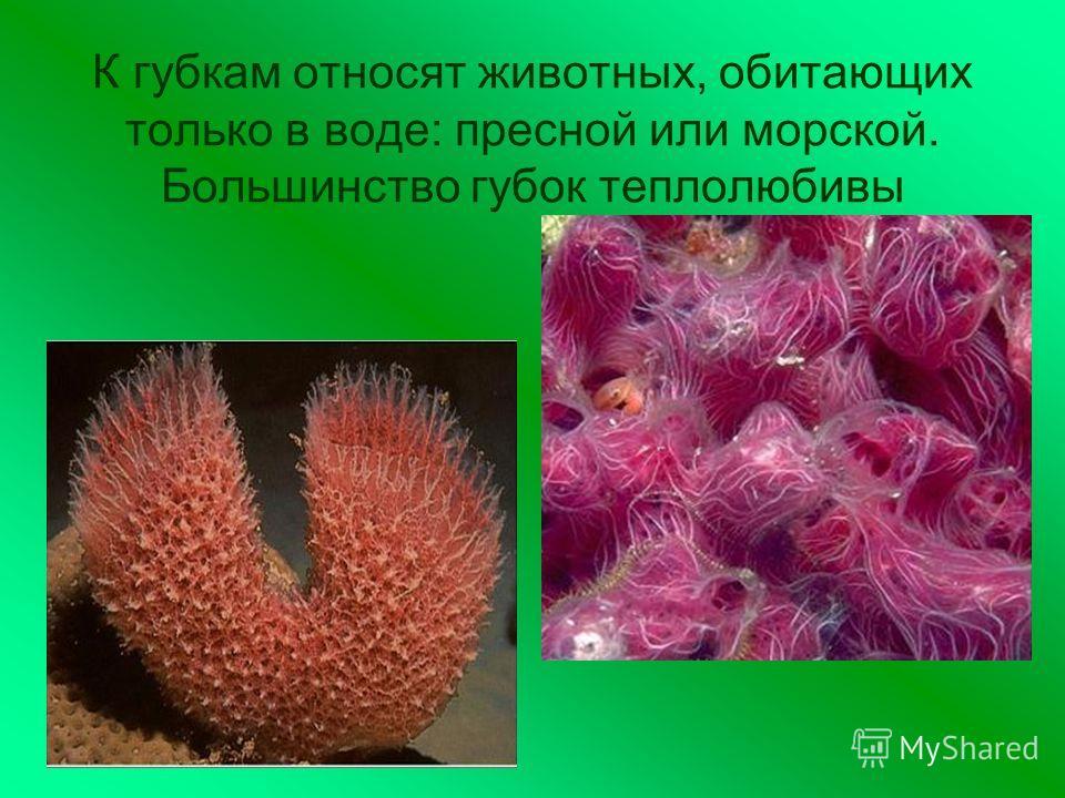 К губкам относят животных, обитающих только в воде: пресной или морской. Большинство губок теплолюбивы
