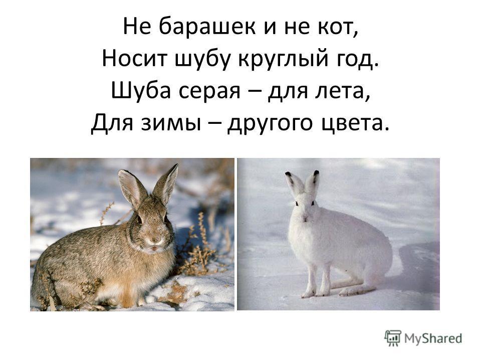 Не барашек и не кот, Носит шубу круглый год. Шуба серая – для лета, Для зимы – другого цвета.