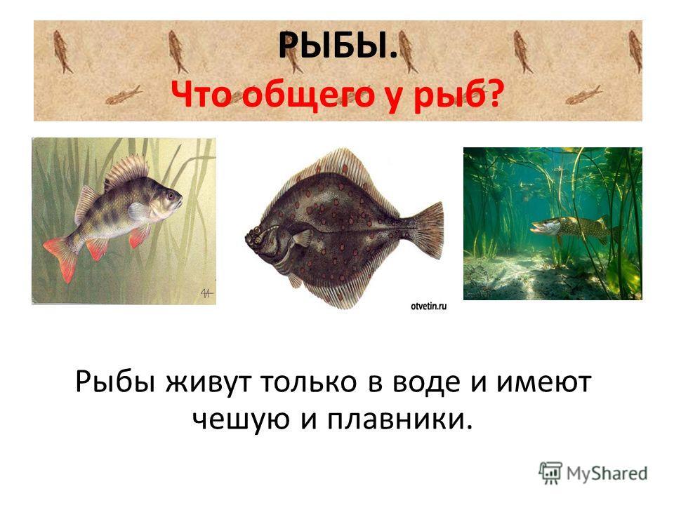 РЫБЫ. Что общего у рыб? Рыбы живут только в воде и имеют чешую и плавники.