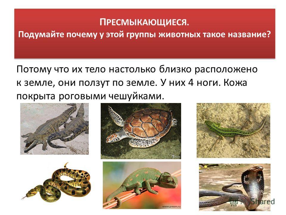 П РЕСМЫКАЮЩИЕСЯ. Подумайте почему у этой группы животных такое название? Потому что их тело настолько близко расположено к земле, они ползут по земле. У них 4 ноги. Кожа покрыта роговыми чешуйками.