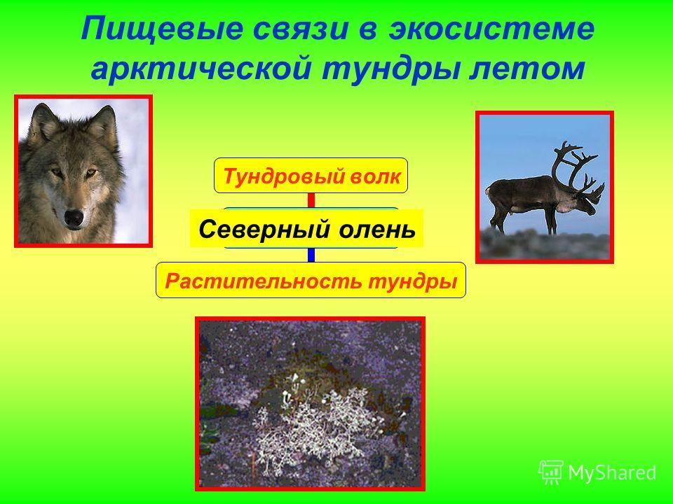 Пищевые связи в экосистеме арктической тундры летом Тундровый волк Растительность тундры Северный олень