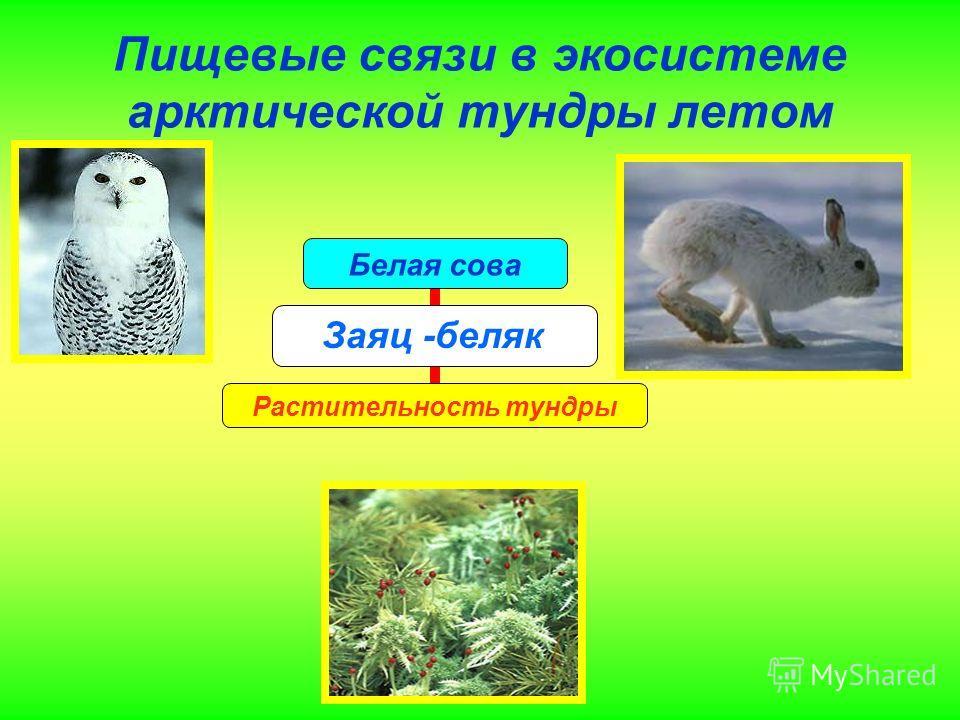 Пищевые связи в экосистеме арктической тундры летом Белая сова Заяц -беляк Растительность тундры Заяц -беляк