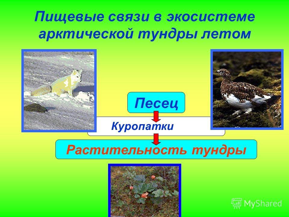 Пищевые связи в экосистеме арктической тундры летом Песец Заяц -беляк Растительность тундры Куропатки