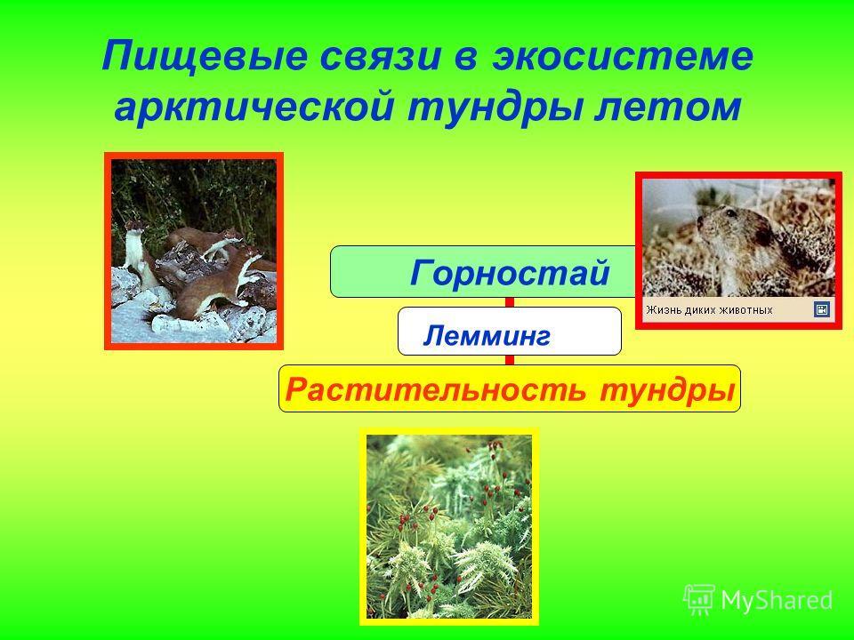 Пищевые связи в экосистеме арктической тундры летом Горностай Заяц -беляк Растительность тундры Лемминг