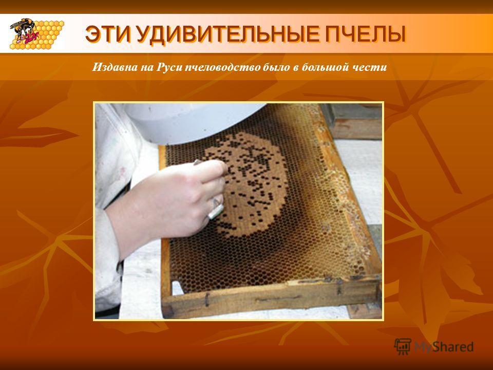 ЭТИ УДИВИТЕЛЬНЫЕ ПЧЕЛЫ Издавна на Руси пчеловодство было в большой чести