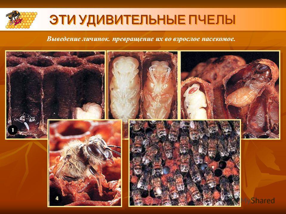 ЭТИ УДИВИТЕЛЬНЫЕ ПЧЕЛЫ Выведение личинок. превращение их во взрослое насекомое.