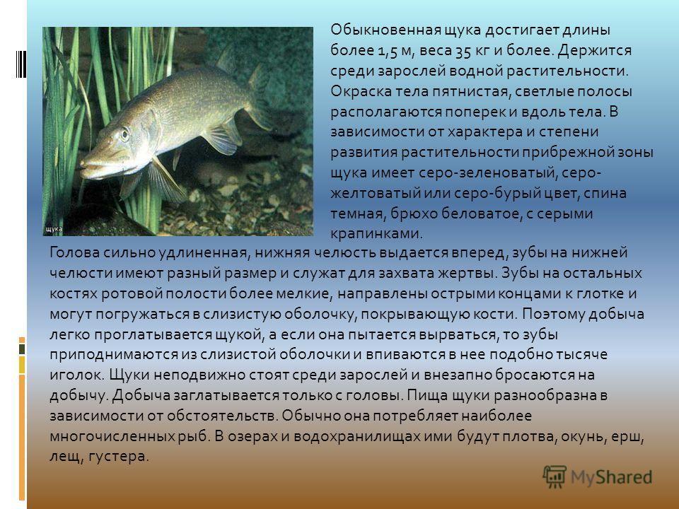 Обыкновенная щука достигает длины более 1,5 м, веса 35 кг и более. Держится среди зарослей водной растительности. Окраска тела пятнистая, светлые полосы располагаются поперек и вдоль тела. В зависимости от характера и степени развития растительности