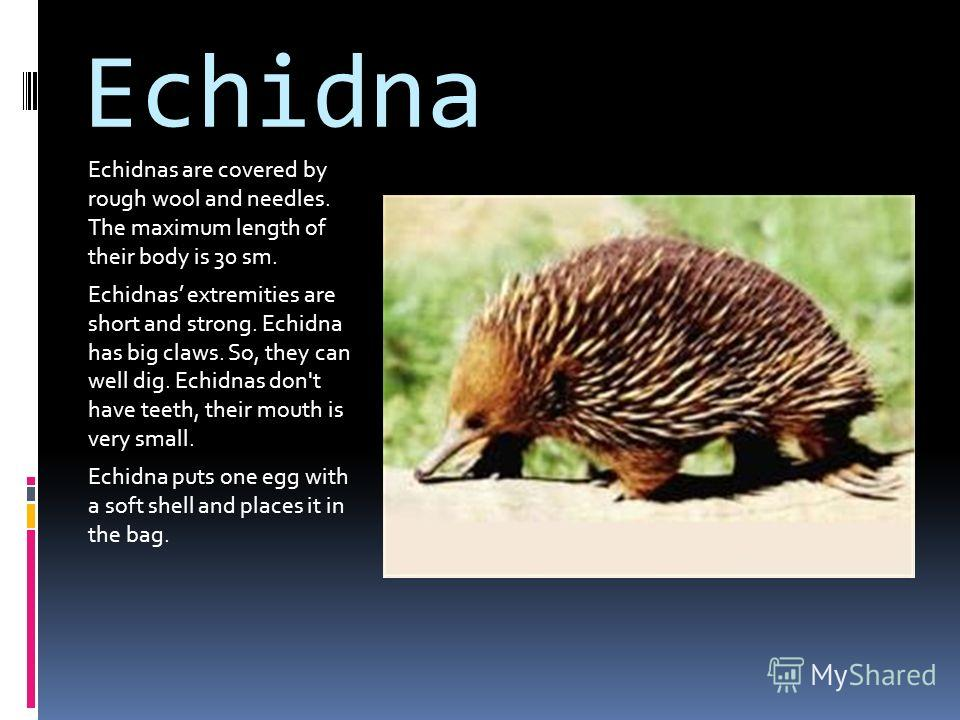 Echidna Echidnas are covered by rough wool and needles. The maximum length of their body is 30 sm. Echidnas extremities are short and strong. Echidna has big claws. So, they can well dig. Echidnas don't have teeth, their mouth is very small. Echidna