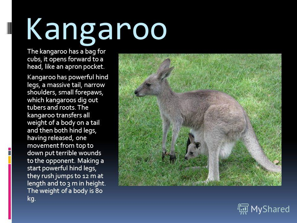 Kangaroo The kangaroo has a bag for cubs, it opens forward to a head, like an apron pocket. Kangaroo has powerful hind legs, a massive tail, narrow shoulders, small forepaws, which kangaroos dig out tubers and roots. The kangaroo transfers all weight