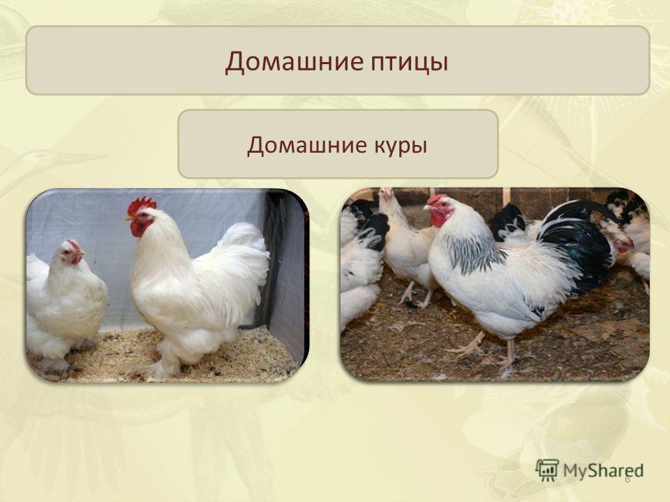 Домашние птицы Домашние куры Яйценосные породы 200-300 яиц в год Общепользовательские породы Леггорн, русские белые Юрловские голосистые, первомайские 6