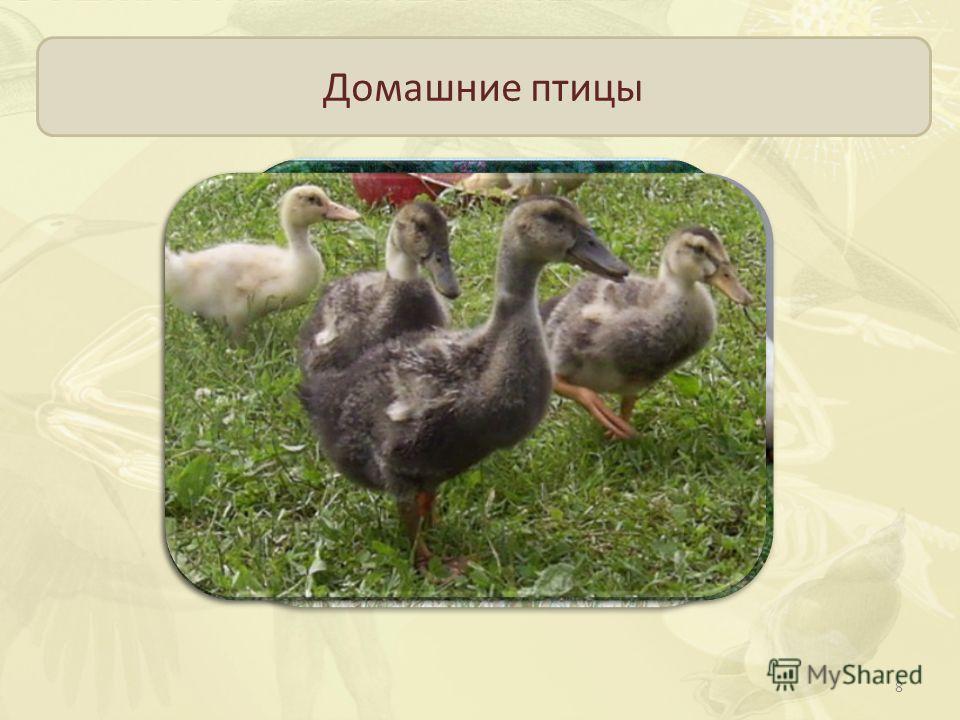Домашние птицы Пекинские утки, московские белые, украинские Быстро растут, к осени достигают массы более 2 кг Выведены от дикой утки -кряквы 8