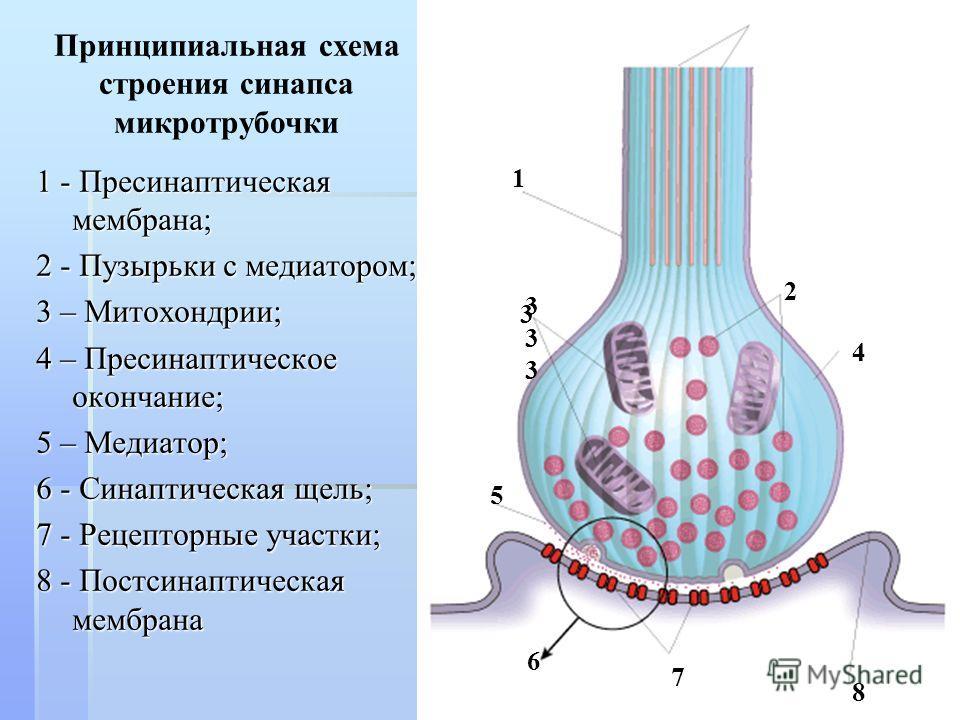 1 - Пресинаптическая мембрана; 2 - Пузырьки с медиатором; 3 – Митохондрии; 4 – Пресинаптическое окончание; 5 – Медиатор; 6 - Синаптическая щель; 7 - Рецепторные участки; 8 - Постсинаптическая мембрана Принципиальная схема строения синапса микротрубоч