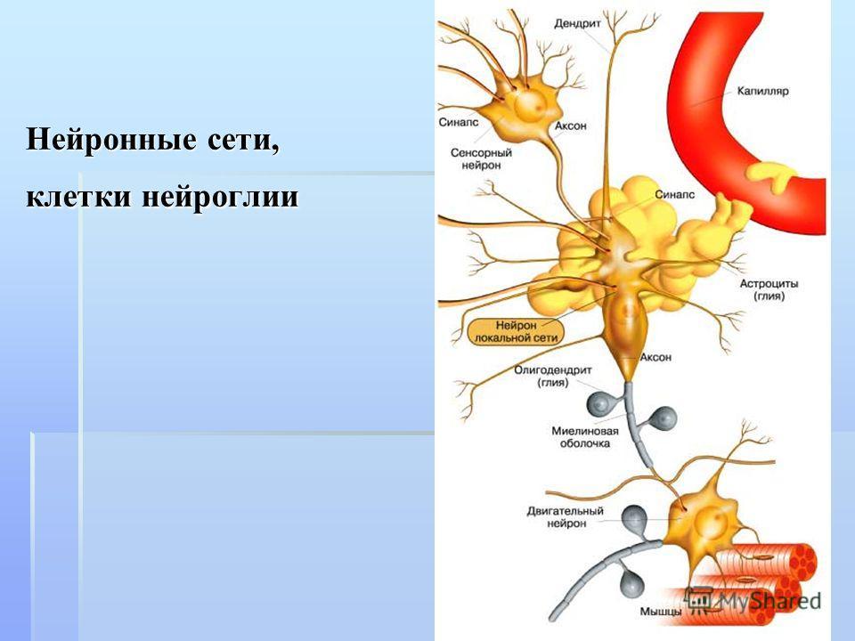 Нейронные сети, клетки нейроглии