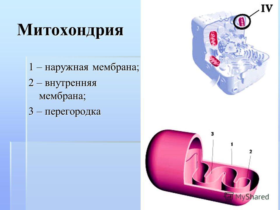 Митохондрия 1 – наружная мембрана; 2 – внутренняя мембрана; 3 – перегородка