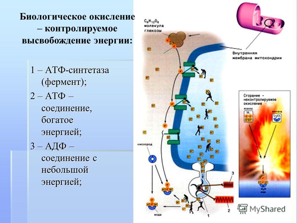 1 – АТФ-синтетаза (фермент); 2 – АТФ – соединение, богатое энергией; 3 – АДФ – соединение с небольшой энергией; Биологическое окисление – контролируемое высвобождение энергии: