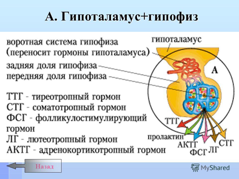 Назад А. Гипоталамус+гипофиз