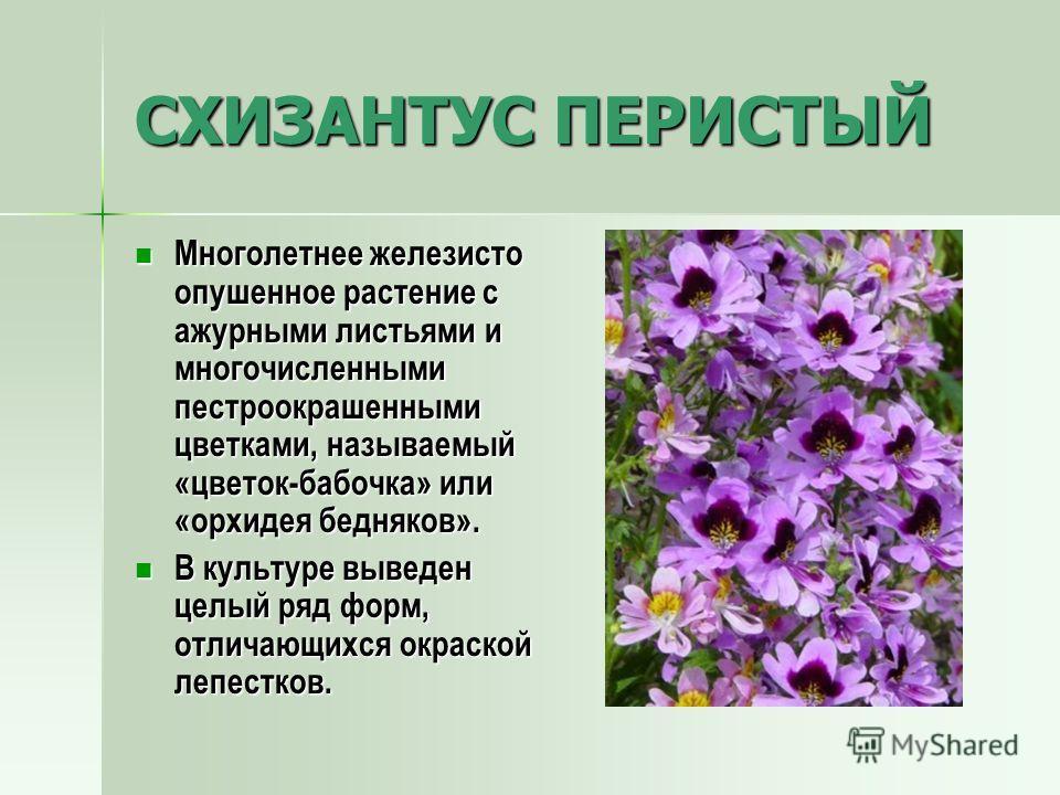 СХИЗАНТУС ПЕРИСТЫЙ Многолетнее железисто опушенное растение с ажурными листьями и многочисленными пестроокрашенными цветками, называемый «цветок-бабочка» или «орхидея бедняков». Многолетнее железисто опушенное растение с ажурными листьями и многочисл