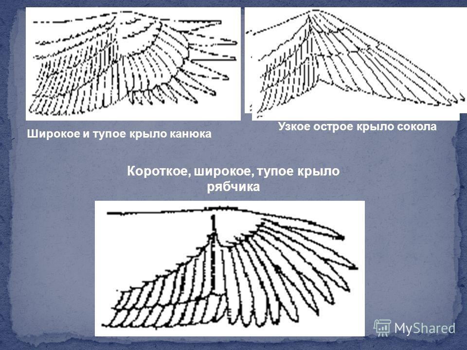 Широкое и тупое крыло канюка Узкое острое крыло сокола Короткое, широкое, тупое крыло рябчика