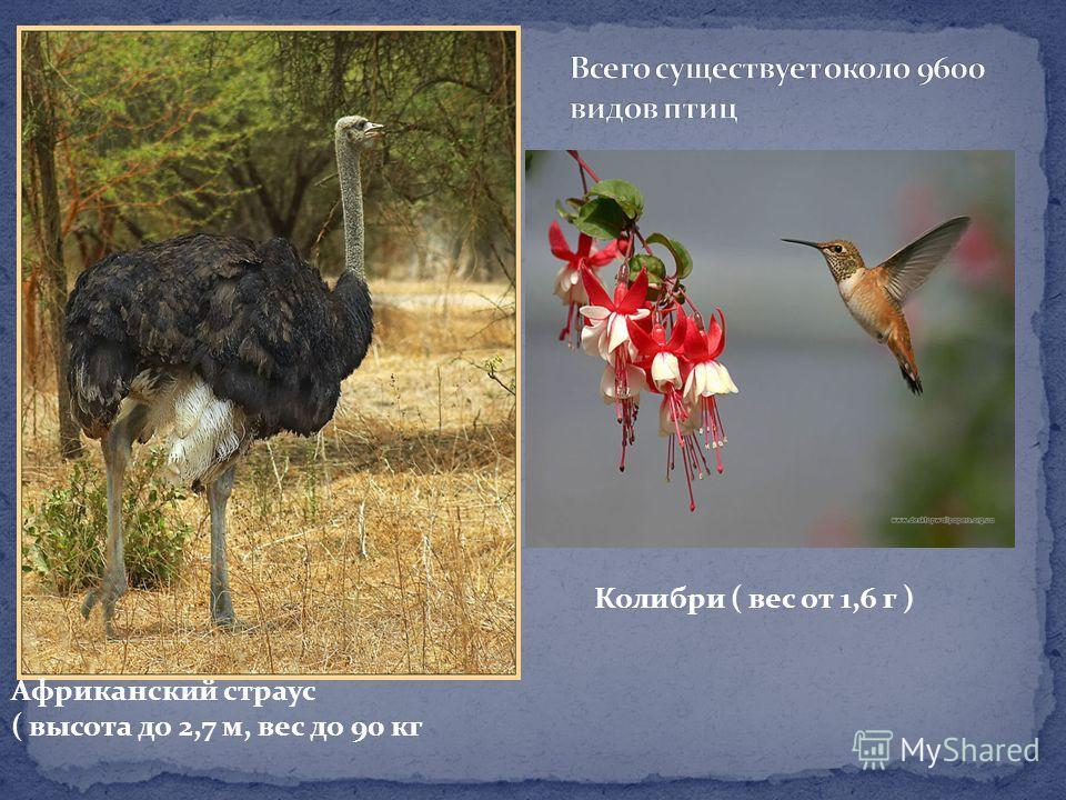 Африканский страус ( высота до 2,7 м, вес до 90 кг Колибри ( вес от 1,6 г )