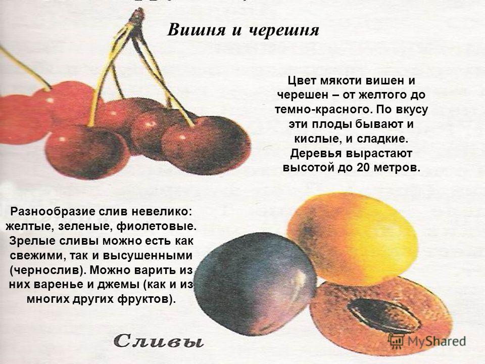 Цвет мякоти вишен и черешен – от желтого до темно-красного. По вкусу эти плоды бывают и кислые, и сладкие. Деревья вырастают высотой до 20 метров. Вишня и черешня Разнообразие слив невелико: желтые, зеленые, фиолетовые. Зрелые сливы можно есть как св