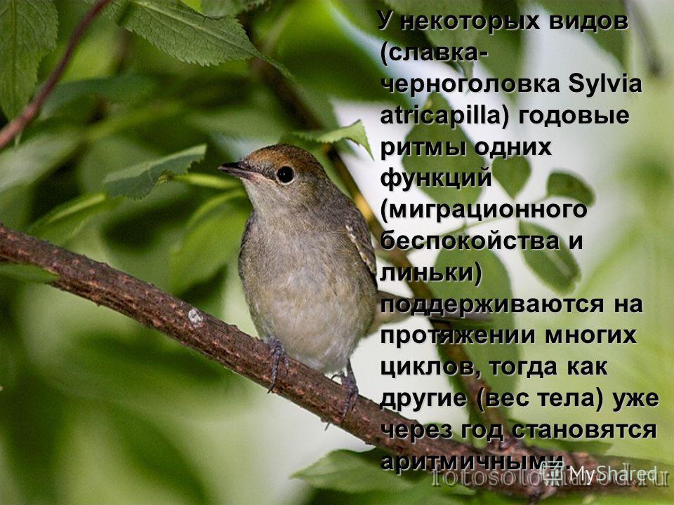 У некоторых видов (славка- черноголовка Sylvia atricapilla) годовые ритмы одних функций (миграционного беспокойства и линьки) поддерживаются на протяжении многих циклов, тогда как другие (вес тела) уже через год становятся аритмичными. У некоторых ви