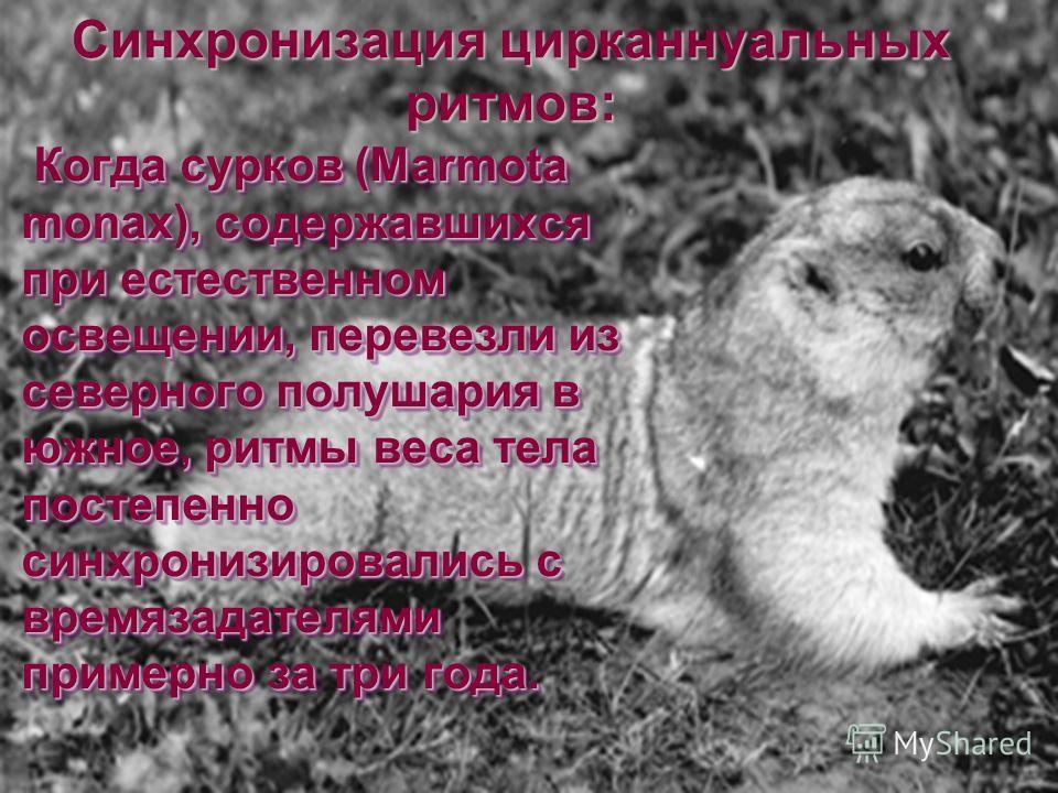 Когда сурков (Marmota monax), содержавшихся при естественном освещении, перевезли из северного полушария в южное, ритмы веса тела постепенно синхронизировались с времязадателями примерно за три года. Когда сурков (Marmota monax), содержавшихся при ес