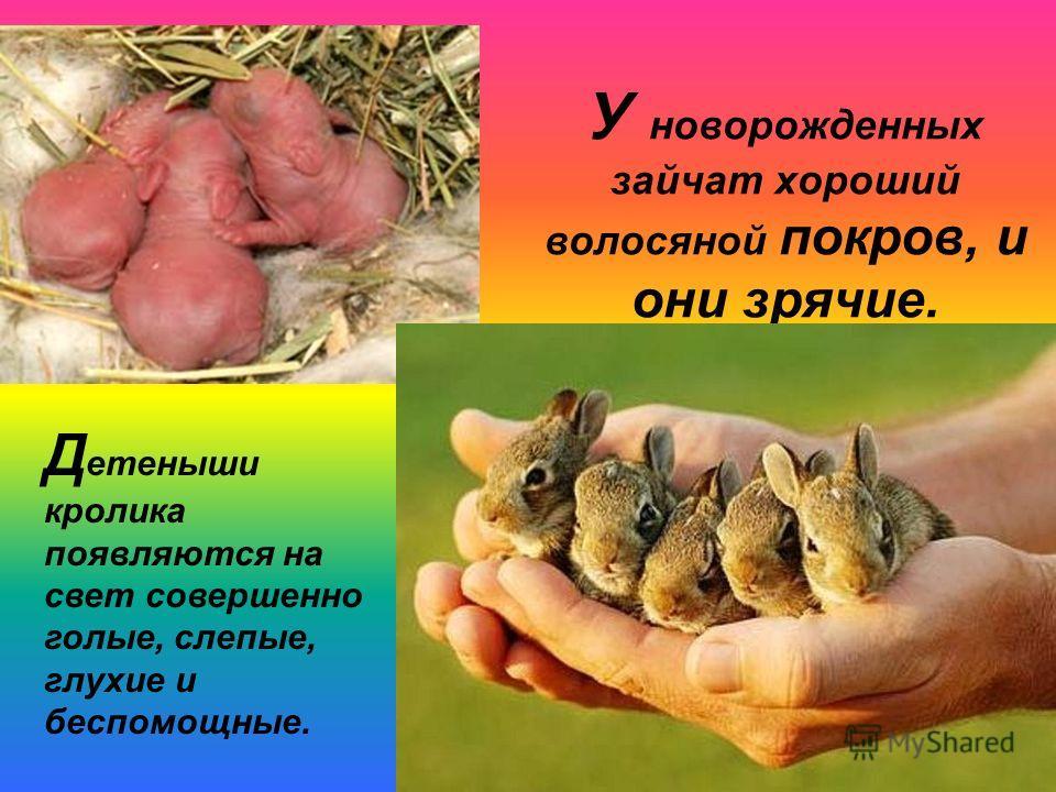 У новорожденных зайчат хороший волосяной покров, и они зрячие. Д етеныши кролика появляются на свет совершенно голые, слепые, глухие и беспомощные.
