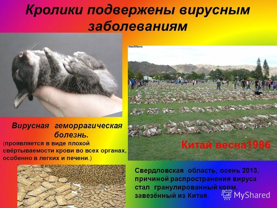 Кролики подвержены вирусным заболеваниям Китай весна1986 Вирусная геморрагическая болезнь. (проявляется в виде плохой свёртываемости крови во всех органах, особенно в легких и печени.) Свердловская область, осень 2013, причиной распространения вируса