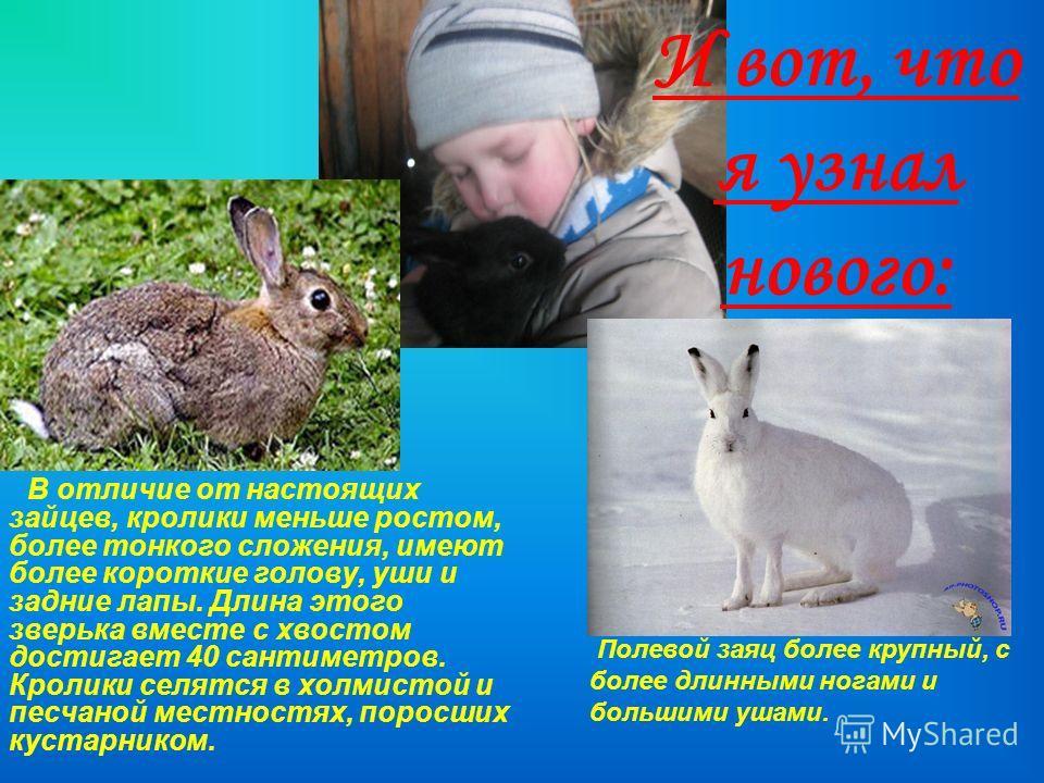 И вот, что я узнал нового: В отличие от настоящих зайцев, кролики меньше ростом, более тонкого сложения, имеют более короткие голову, уши и задние лапы. Длина этого зверька вместе с хвостом достигает 40 сантиметров. Кролики селятся в холмистой и песч