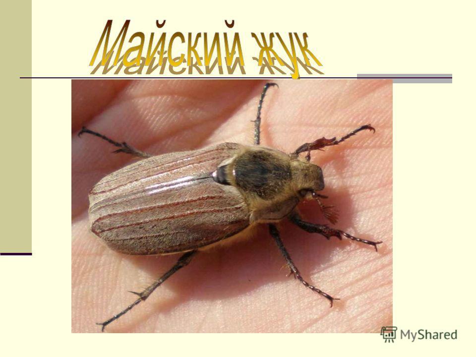 Питание майского жука.