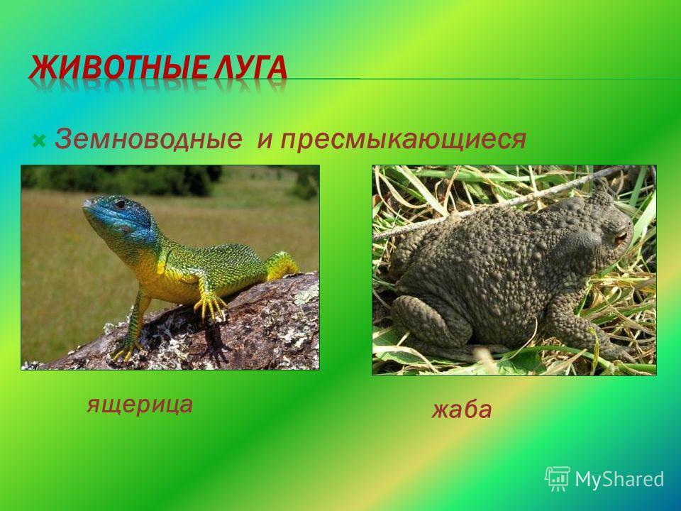 Земноводные и пресмыкающиеся ящерица жаба