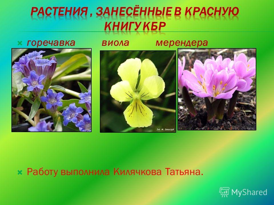 горечавка виола мерендера Работу выполнила Килячкова Татьяна.