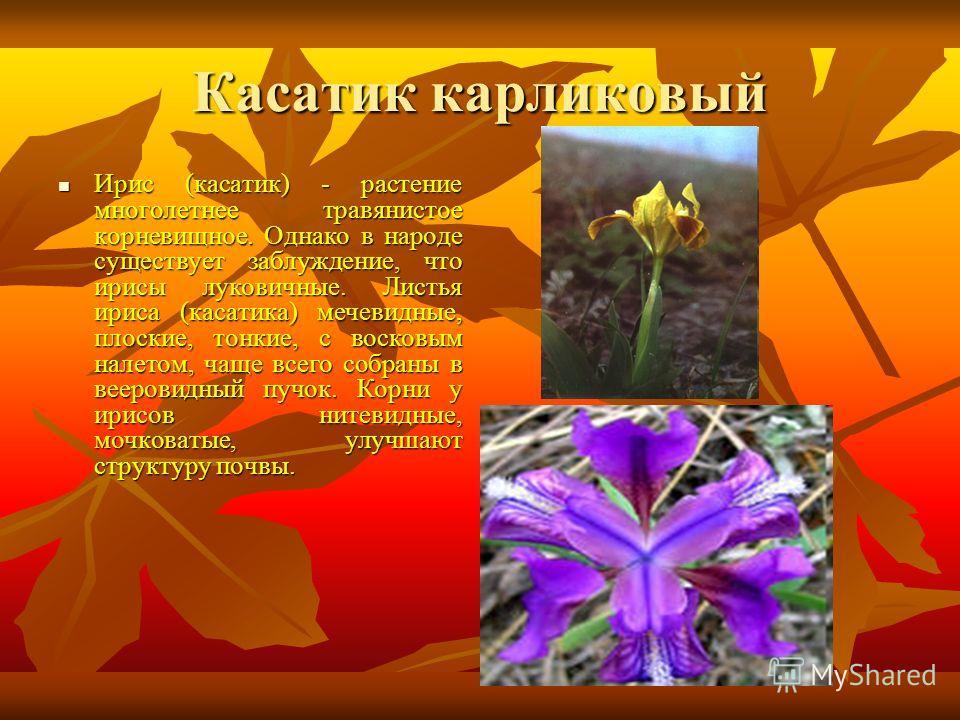 Касатик карликовый Ирис (касатик) - растение многолетнее травянистое корневищное. Однако в народе существует заблуждение, что ирисы луковичные. Листья ириса (касатика) мечевидные, плоские, тонкие, с восковым налетом, чаще всего собраны в вееровидный