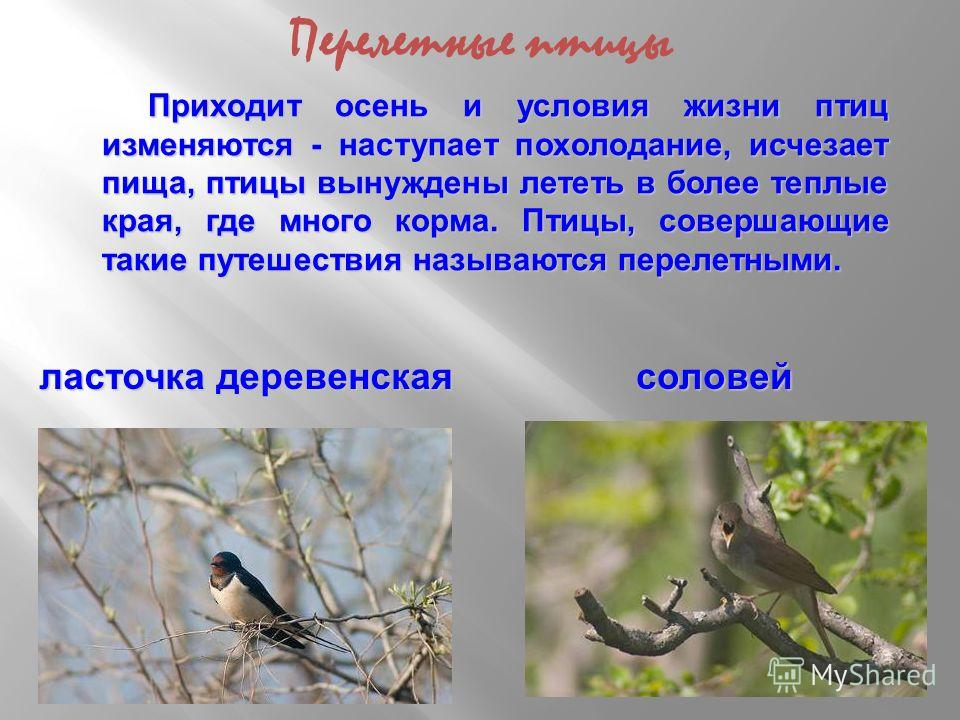 Приходит осень и условия жизни птиц изменяются - наступает похолодание, исчезает пища, птицы вынуждены лететь в более теплые края, где много корма. Птицы, совершающие такие путешествия называются перелетными. ласточка деревенская соловей Перелетные п