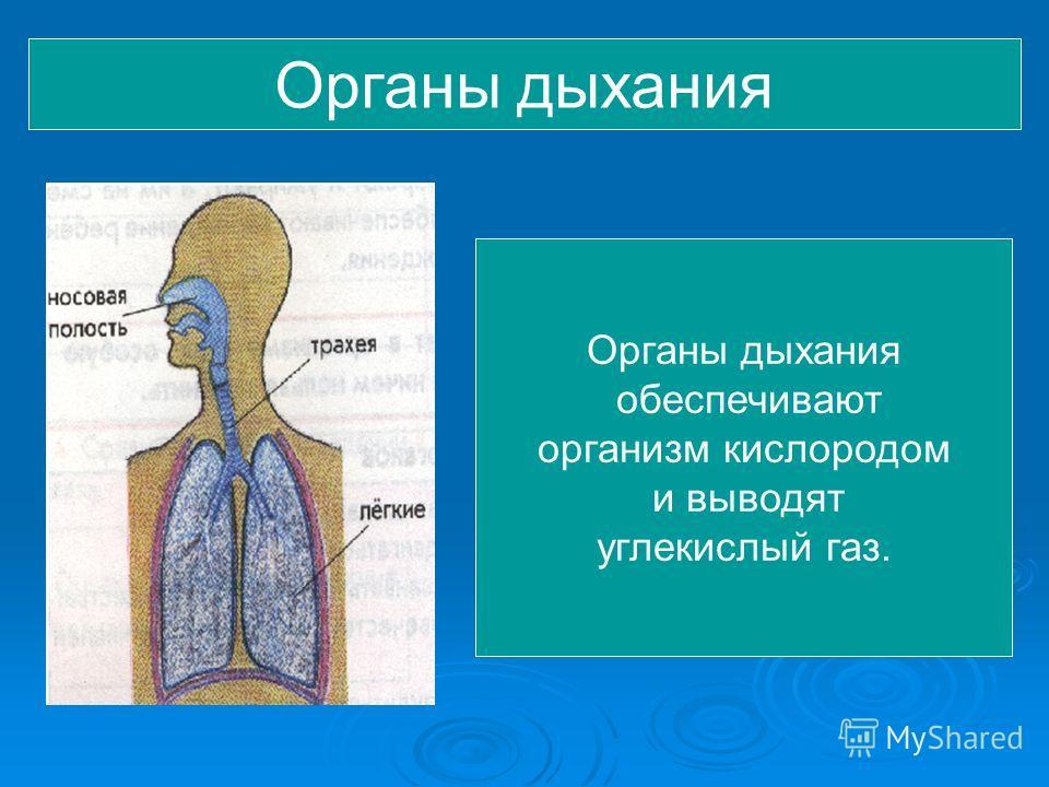 Органы дыхания обеспечивают организм кислородом и выводят углекислый газ.