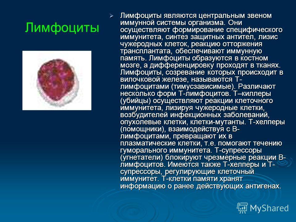 Лимфоциты являются центральным звеном иммунной системы организма. Они осуществляют формирование специфического иммунитета, синтез защитных антител, лизис чужеродных клеток, реакцию отторжения трансплантата, обеспечивают иммунную память. Лимфоциты обр