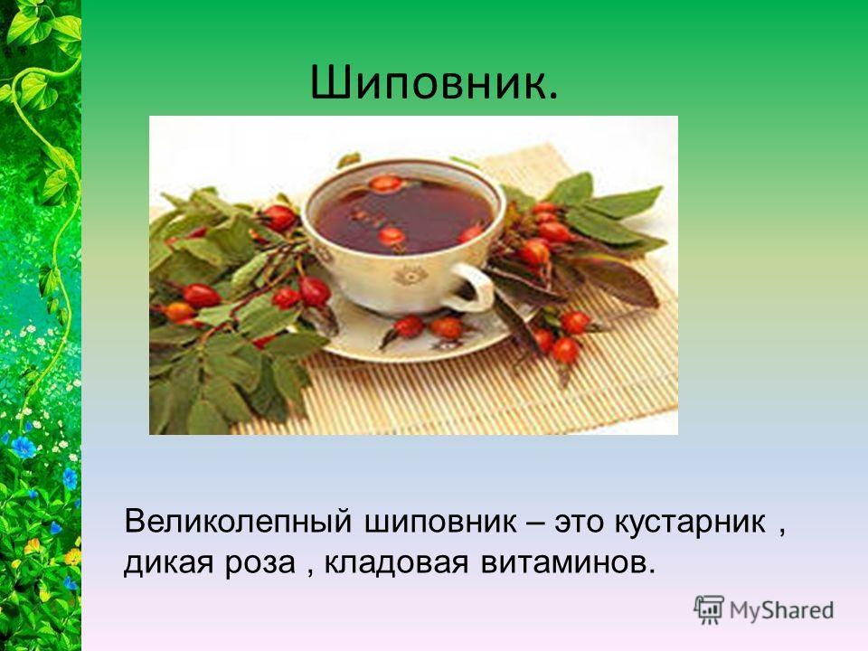 Шиповник. Великолепный шиповник – это кустарник, дикая роза, кладовая витаминов.