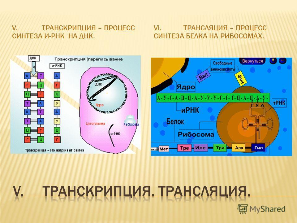 V.ТРАНСКРИПЦИЯ – ПРОЦЕСС СИНТЕЗА И-РНК НА ДНК. VI.ТРАНСЛЯЦИЯ – ПРОЦЕСС СИНТЕЗА БЕЛКА НА РИБОСОМАХ.