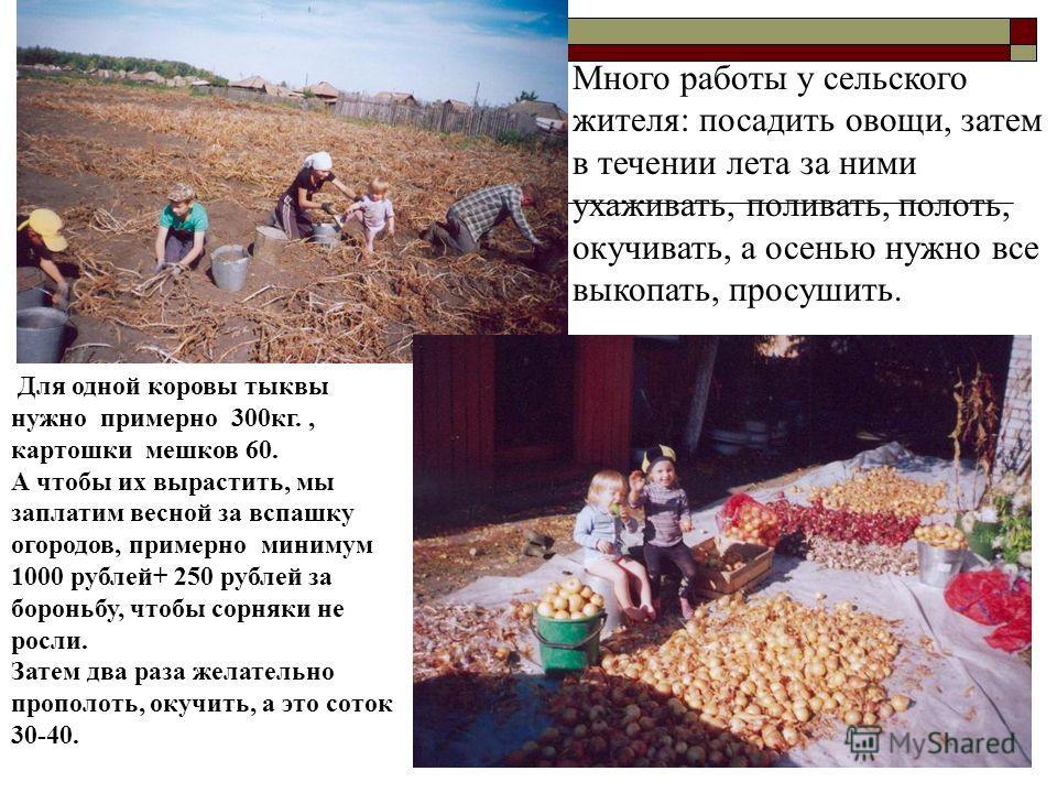 Много работы у сельского жителя: посадить овощи, затем в течении лета за ними ухаживать, поливать, полоть, окучивать, а осенью нужно все выкопать, просушить. Для одной коровы тыквы нужно примерно 300кг., картошки мешков 60. А чтобы их вырастить, мы з