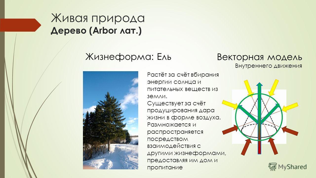 Живая природа Дерево (Arbor лат.) Жизнеформа: Ель Векторная модель Внутреннего движения Растёт за счёт вбирания энергии солнца и питательных веществ из земли. Существует за счёт продуцирования дара жизни в форме воздуха. Размножается и распространяет