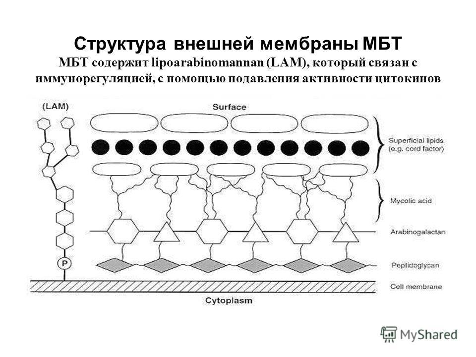 Структура внешней мембраны МБТ МБТ содержит lipoarabinomannan (LAM), который связан с иммунорегуляцией, с помощью подавления активности цитокинов макрофагов.