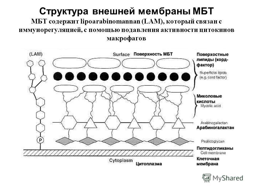 Структура внешней мембраны МБТ МБТ содержит lipoarabinomannan (LAM), который связан с иммунорегуляцией, с помощью подавления активности цитокинов макрофагов