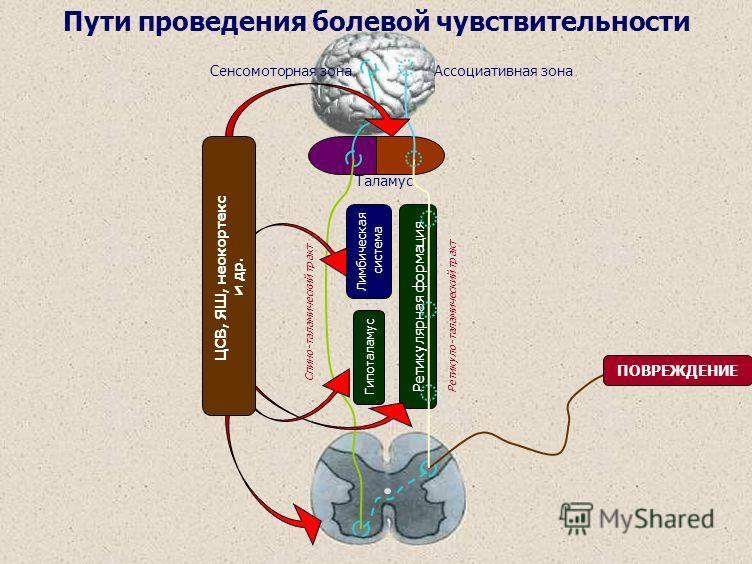 Таламус Лимбическая система Гипоталамус Спино-таламический тракт Сенсомоторная зона Ретикулярная формация ПОВРЕЖДЕНИЕ Ассоциативная зона Ретикуло-таламический тракт ЦСВ, ЯШ, неокортекс и др. Пути проведения болевой чувствительности