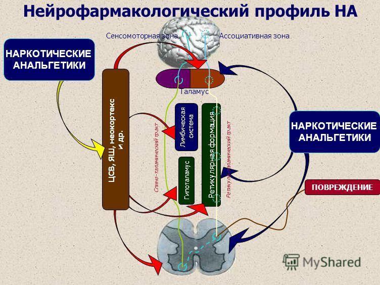 Таламус Лимбическая система Гипоталамус Спино-таламический тракт Сенсомоторная зона Ретикулярная формация ПОВРЕЖДЕНИЕ Ассоциативная зона Ретикуло-таламический тракт ЦСВ, ЯШ, неокортекс и др. НАРКОТИЧЕСКИЕ АНАЛЬГЕТИКИ НАРКОТИЧЕСКИЕ АНАЛЬГЕТИКИ Нейрофа