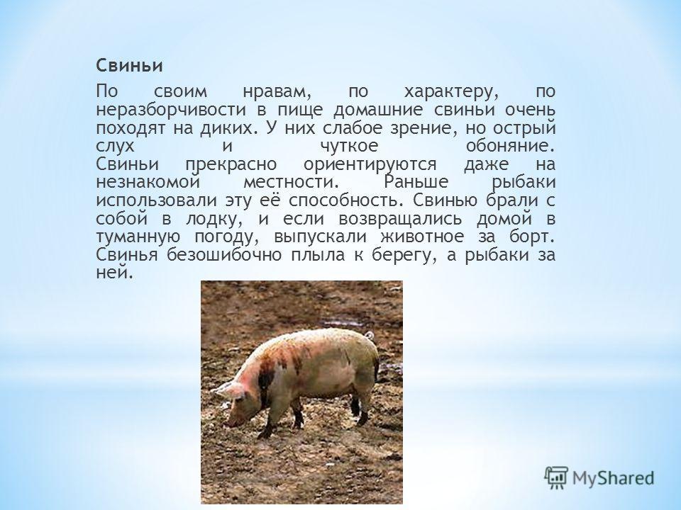 Свиньи По своим нравам, по характеру, по неразборчивости в пище домашние свиньи очень походят на диких. У них слабое зрение, но острый слух и чуткое обоняние. Свиньи прекрасно ориентируются даже на незнакомой местности. Раньше рыбаки использовали эту