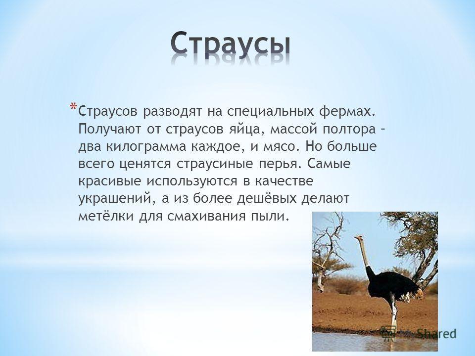 * Страусов разводят на специальных фермах. Получают от страусов яйца, массой полтора – два килограмма каждое, и мясо. Но больше всего ценятся страусиные перья. Самые красивые используются в качестве украшений, а из более дешёвых делают метёлки для см