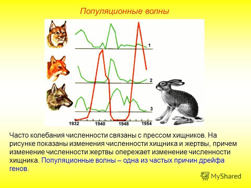 Популяционные волны Часто колебания численности связаны с прессом хищников. На рисунке показаны изменения численности хищника и жертвы, причем изменение численности жертвы опережает изменение численности хищника. Популяционные волны – одна из частых