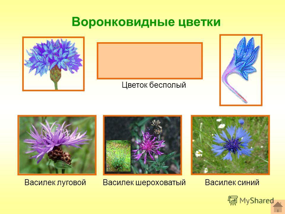 Воронковидные цветки Формула цветка: ^или*Ч 0 Л (5) Т 0 П 0 Цветок бесполый Василек шероховатыйВасилек луговойВасилек синий